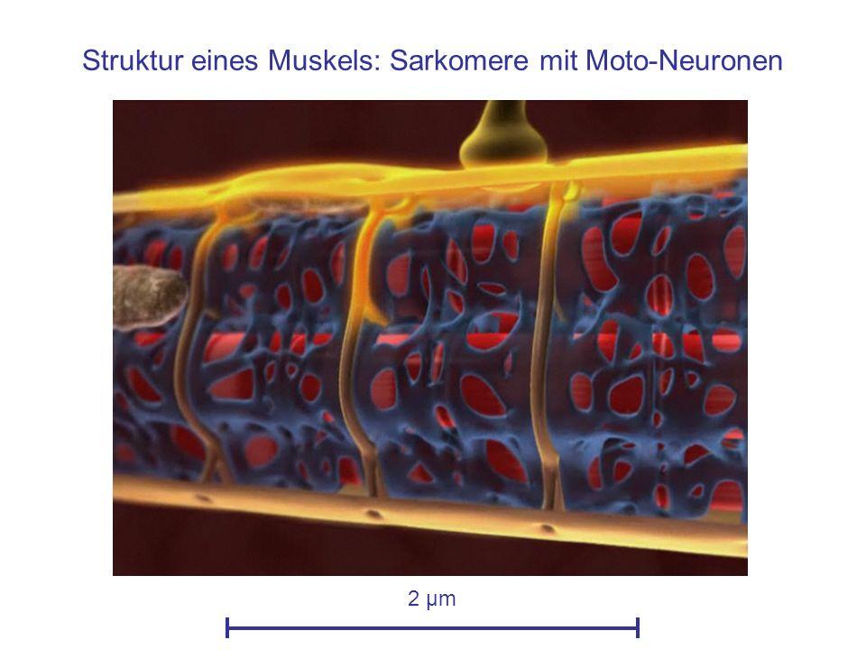 Struktur eines Muskels: Sarkomere mit Moto-Neuronen