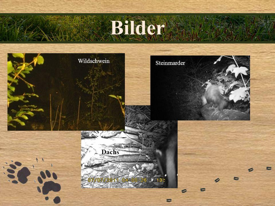 Bilder Wildschwein Steinmarder Dachs