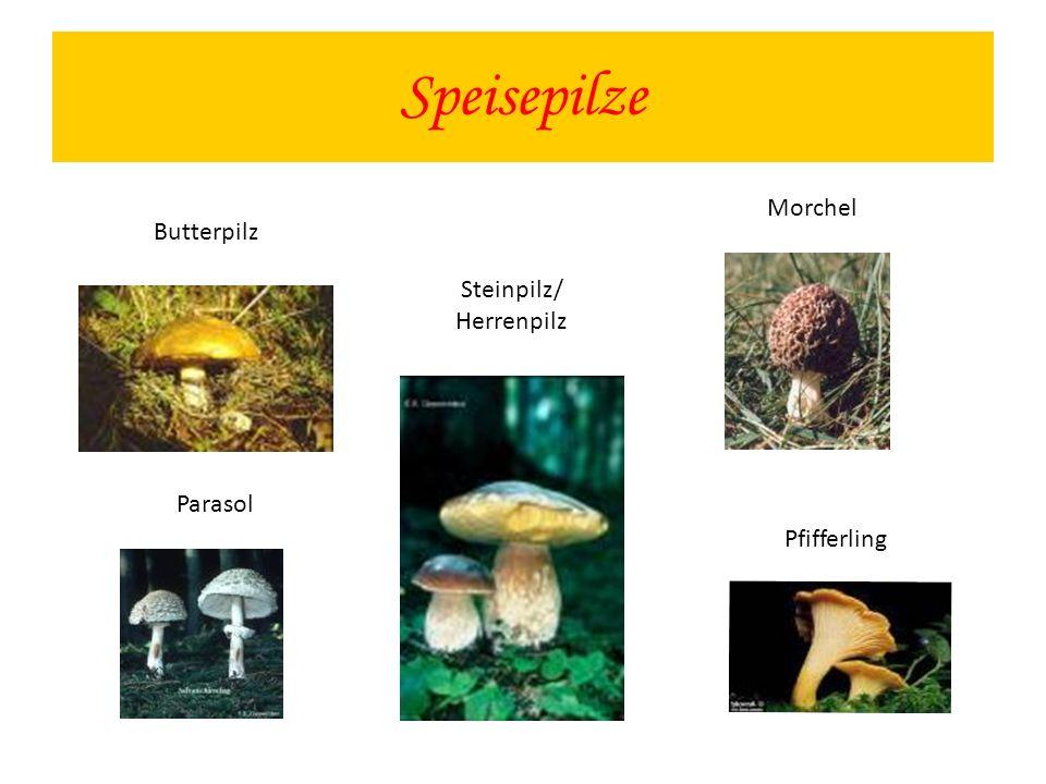 Speisepilze Morchel Butterpilz Steinpilz/ Herrenpilz Parasol
