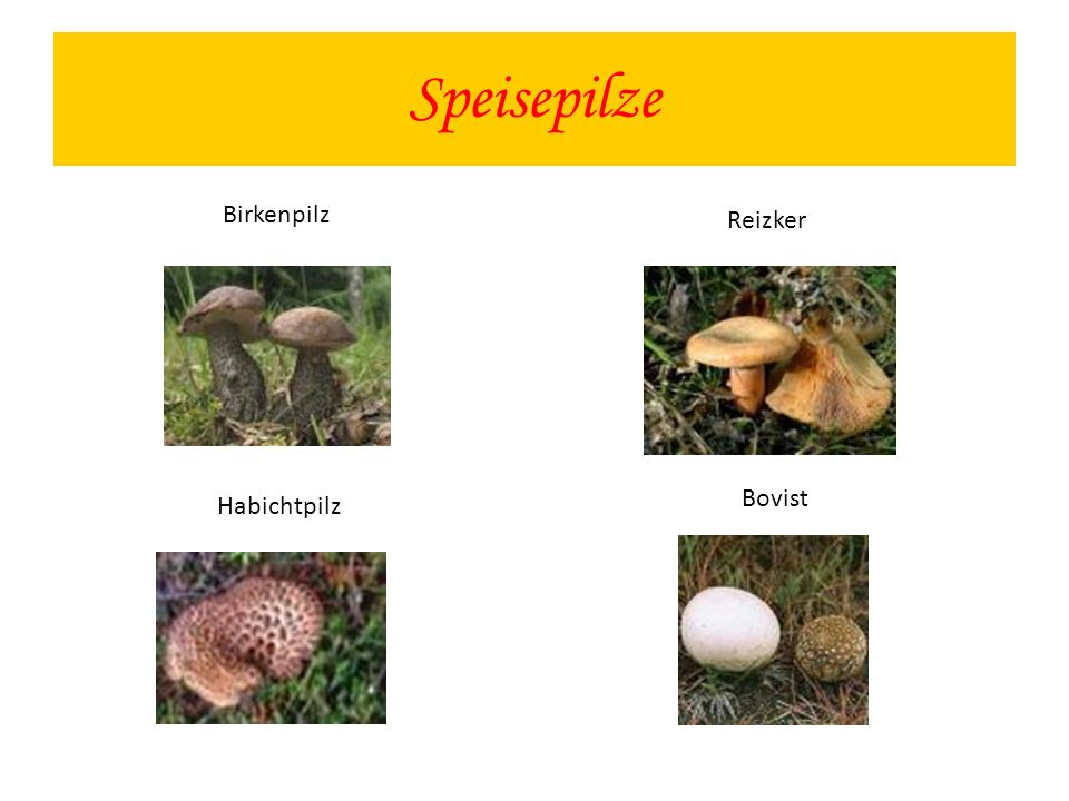 Speisepilze Birkenpilz Reizker Bovist Habichtpilz