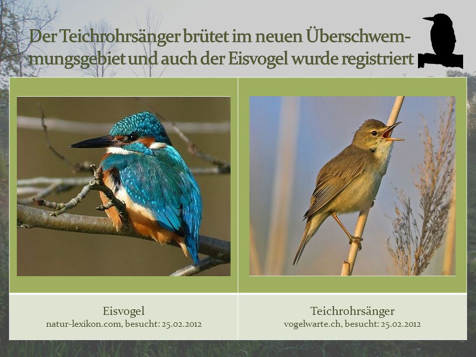 Der Teichrohrsänger brütet im neuen Überschwem-mungsgebiet und auch der Eisvogel wurde registriert