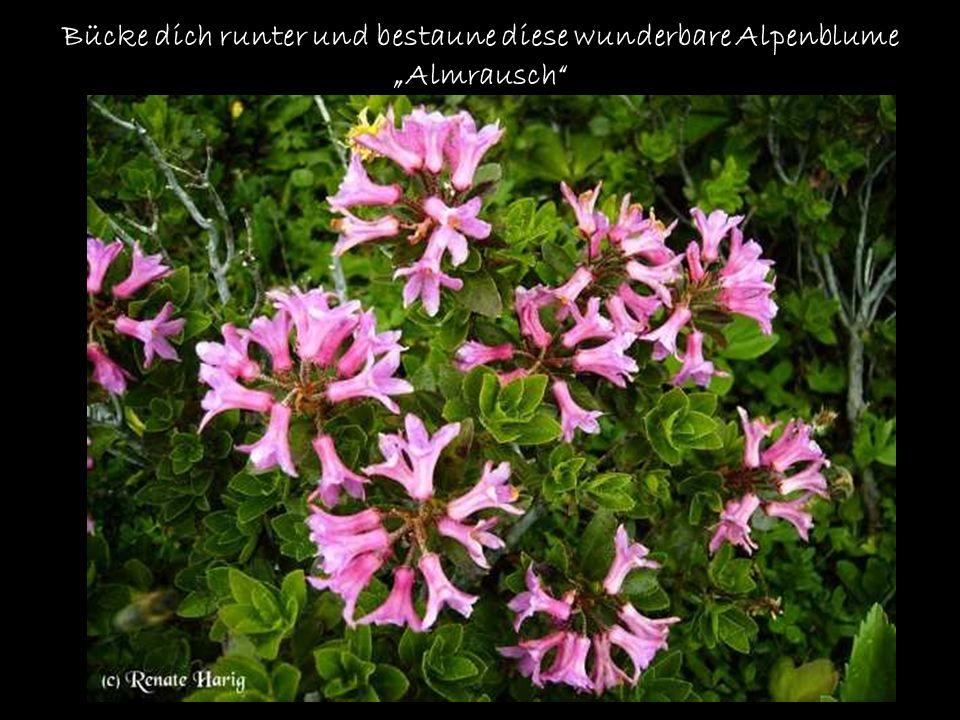 """Bücke dich runter und bestaune diese wunderbare Alpenblume """"Almrausch"""