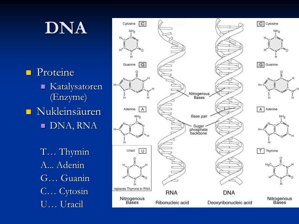 DNA Proteine Nukleinsäuren Katalysatoren (Enzyme) DNA, RNA T… Thymin