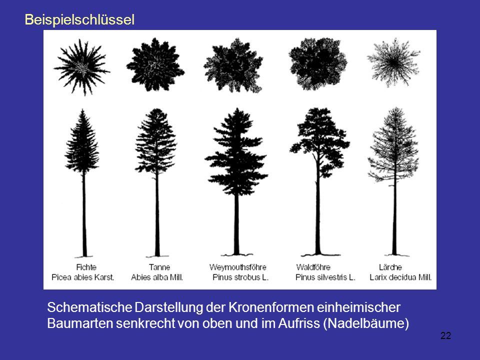 Beispielschlüssel Schematische Darstellung der Kronenformen einheimischer Baumarten senkrecht von oben und im Aufriss (Nadelbäume)