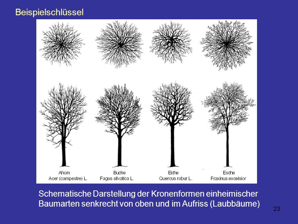 Beispielschlüssel Schematische Darstellung der Kronenformen einheimischer Baumarten senkrecht von oben und im Aufriss (Laubbäume)