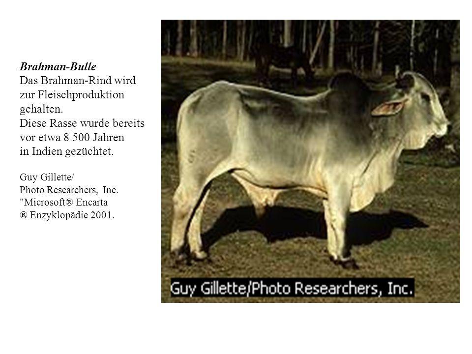 Das Brahman-Rind wird zur Fleischproduktion gehalten.