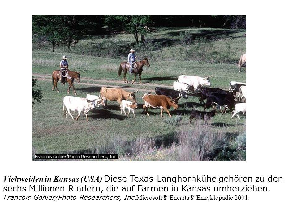 Viehweiden in Kansas (USA) Diese Texas-Langhornkühe gehören zu den