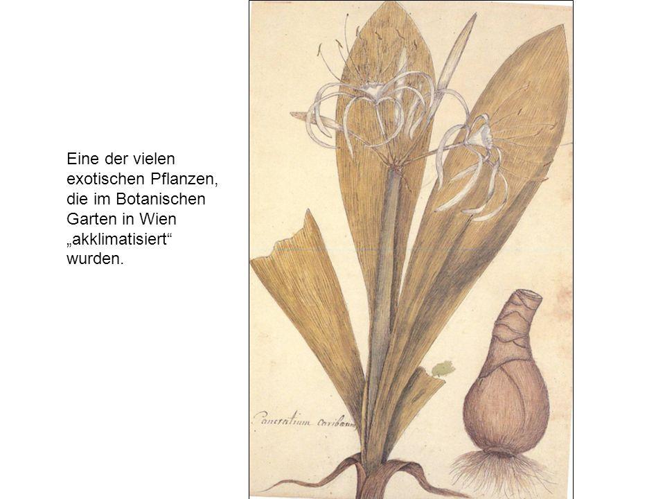 """Eine der vielen exotischen Pflanzen, die im Botanischen Garten in Wien """"akklimatisiert wurden."""