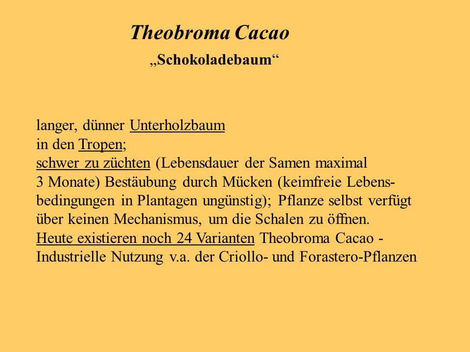 "Theobroma Cacao ""Schokoladebaum langer, dünner Unterholzbaum"