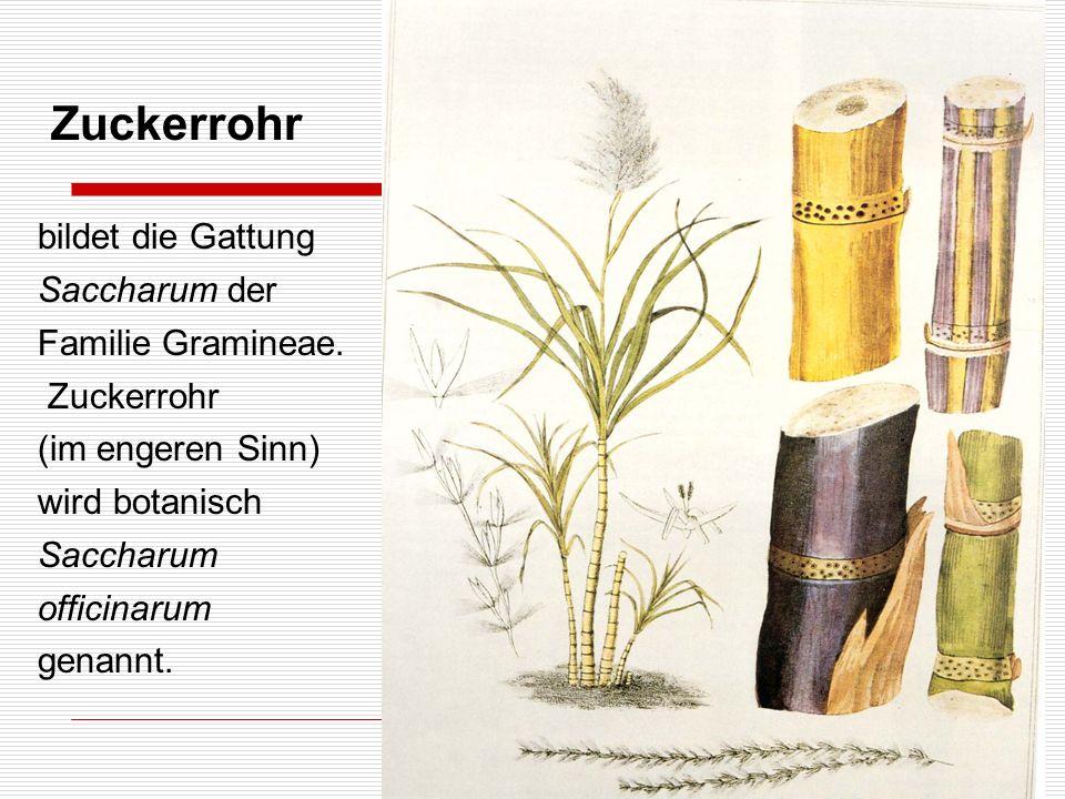 Zuckerrohr bildet die Gattung Saccharum der Familie Gramineae.