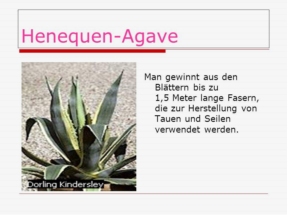 Henequen-Agave Man gewinnt aus den Blättern bis zu 1,5 Meter lange Fasern, die zur Herstellung von Tauen und Seilen verwendet werden.