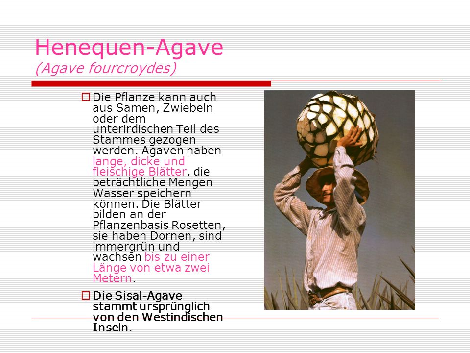 Henequen-Agave (Agave fourcroydes)