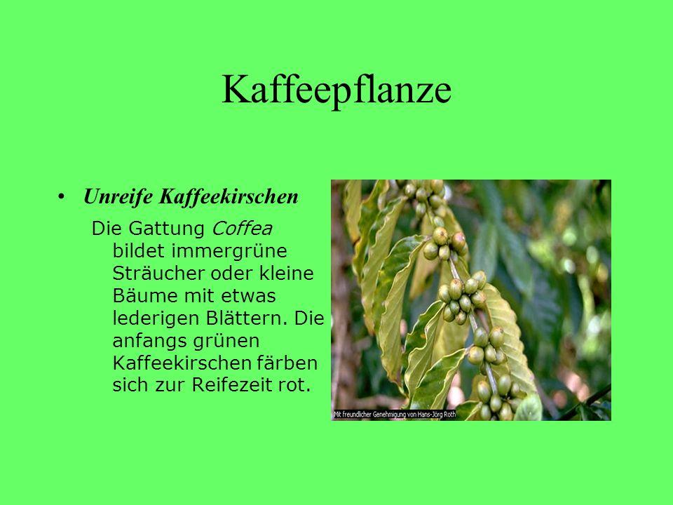 Kaffeepflanze Unreife Kaffeekirschen