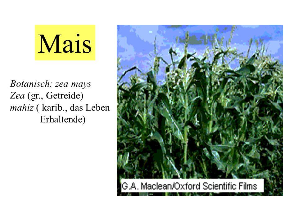 Mais Botanisch: zea mays Zea (gr., Getreide) mahiz ( karib., das Leben