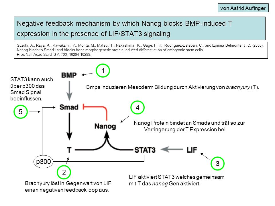 von Astrid Aufinger Negative feedback mechanism by which Nanog blocks BMP-induced T expression in the presence of LIF/STAT3 signaling.