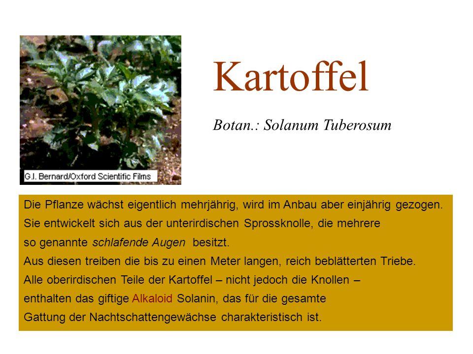 Kartoffel Botan.: Solanum Tuberosum