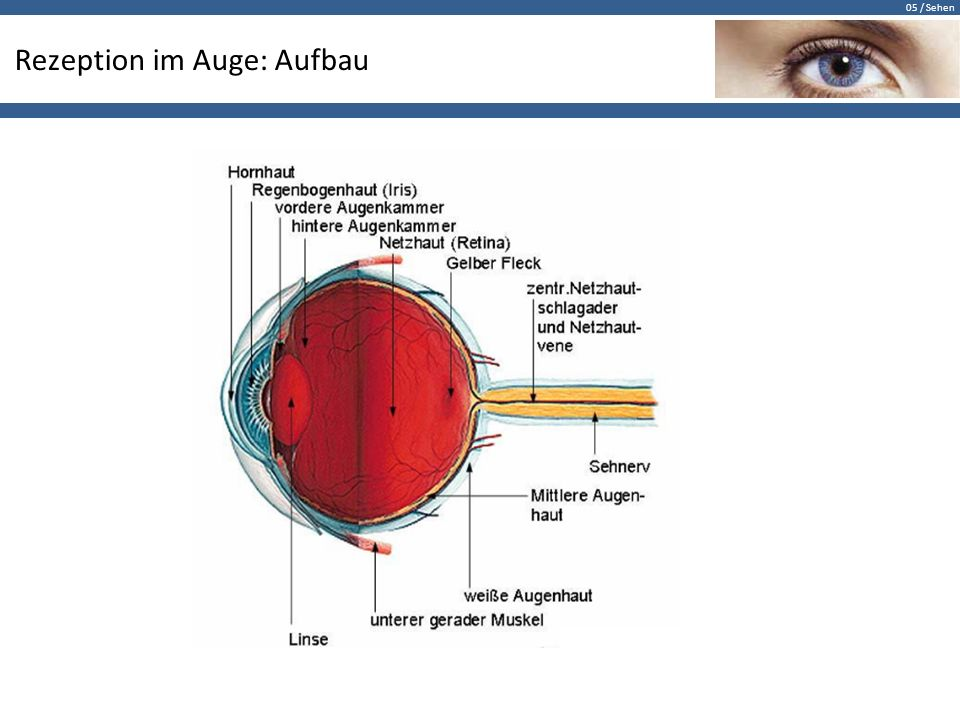 Charmant Auge Anatomie Ppt Galerie - Anatomie Ideen - finotti.info