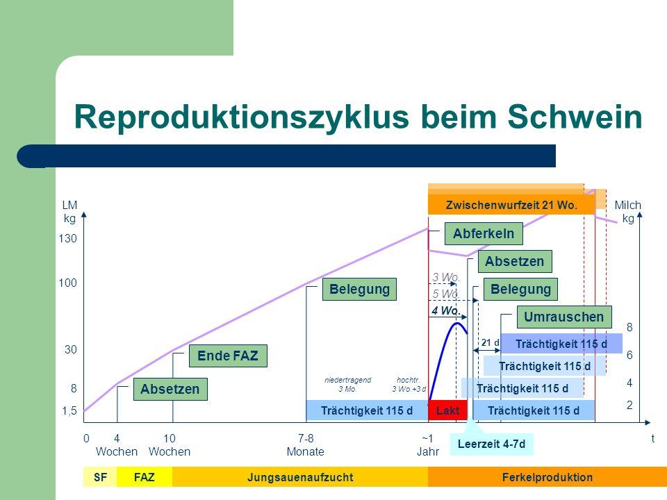 Reproduktionszyklus beim Schwein