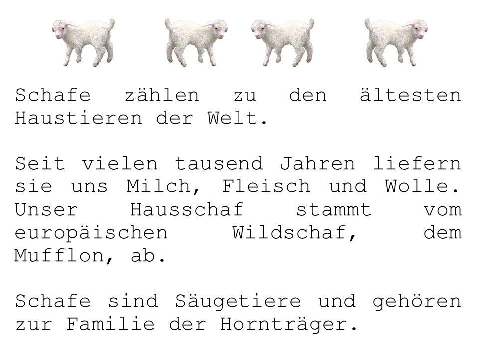 Schafe zählen zu den ältesten Haustieren der Welt.