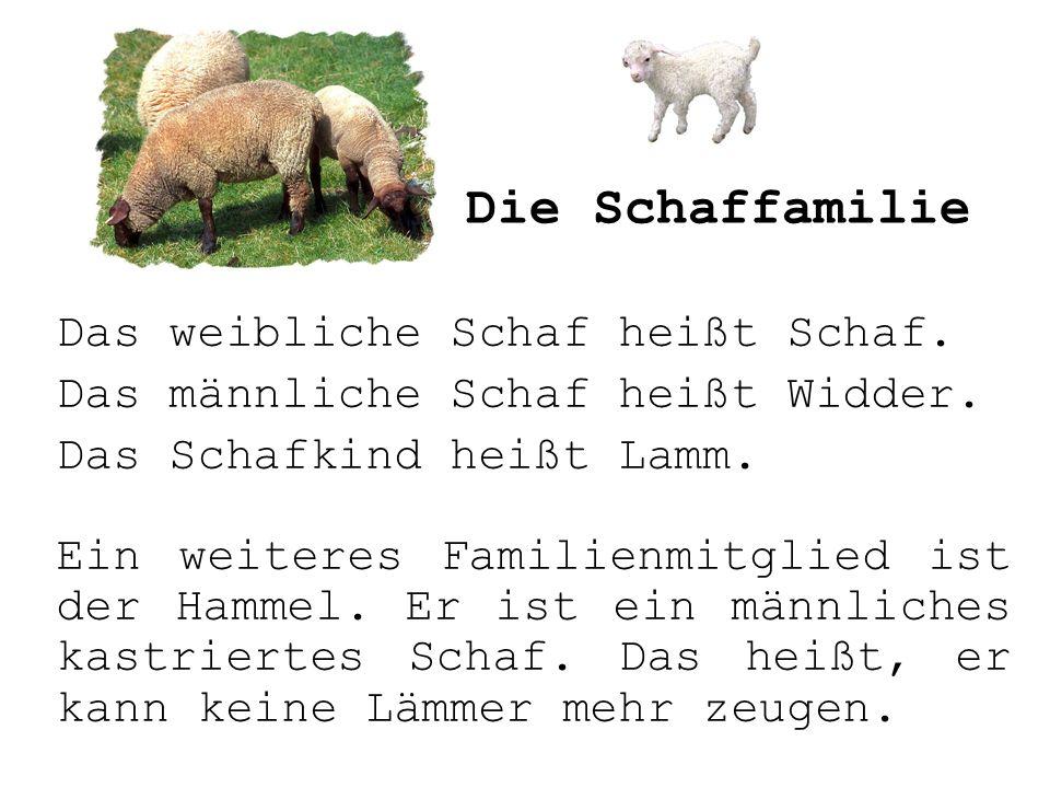 Die Schaffamilie Das weibliche Schaf heißt Schaf.