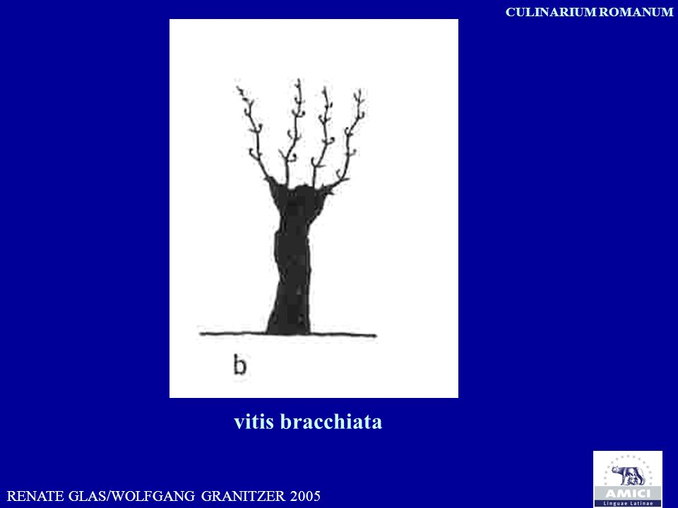 vitis bracchiata RENATE GLAS/WOLFGANG GRANITZER 2005