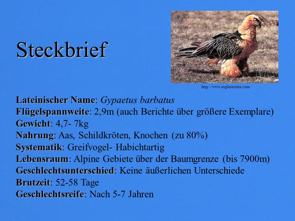 Steckbrief Lateinischer Name: Gypaetus barbatus