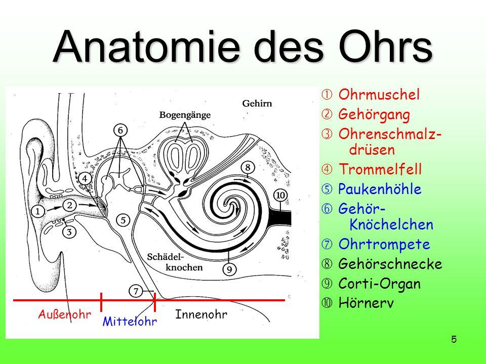 Anatomie des Ohrs  Ohrmuschel  Gehörgang  Ohrenschmalz-drüsen