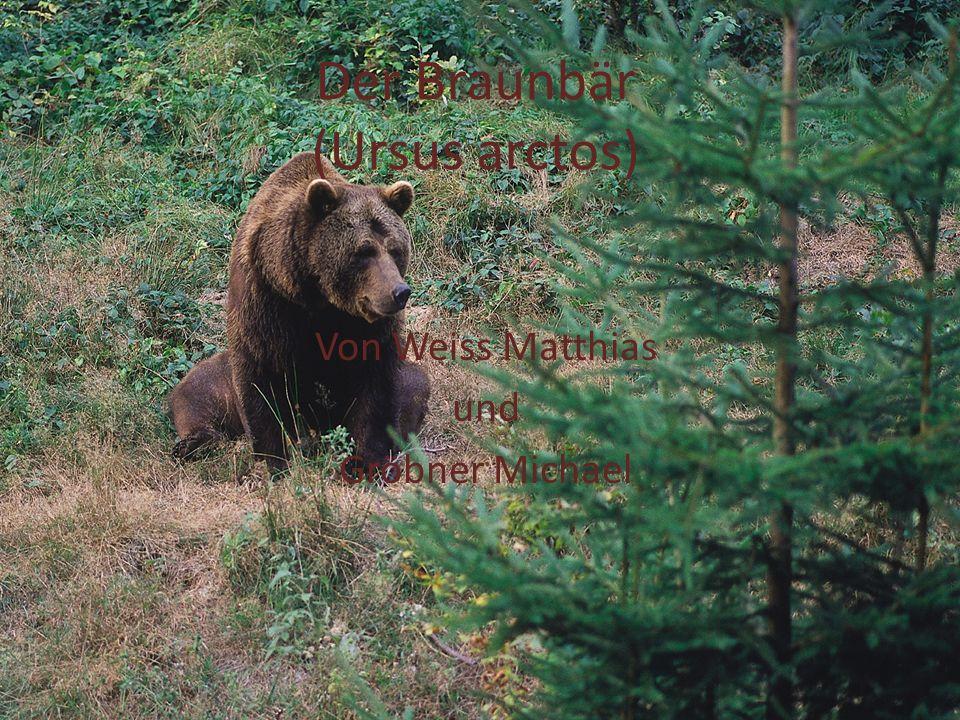 Der Braunbär (Ursus arctos)