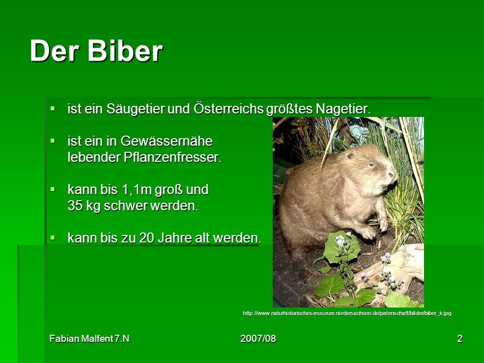 Der Biber ist ein Säugetier und Österreichs größtes Nagetier.