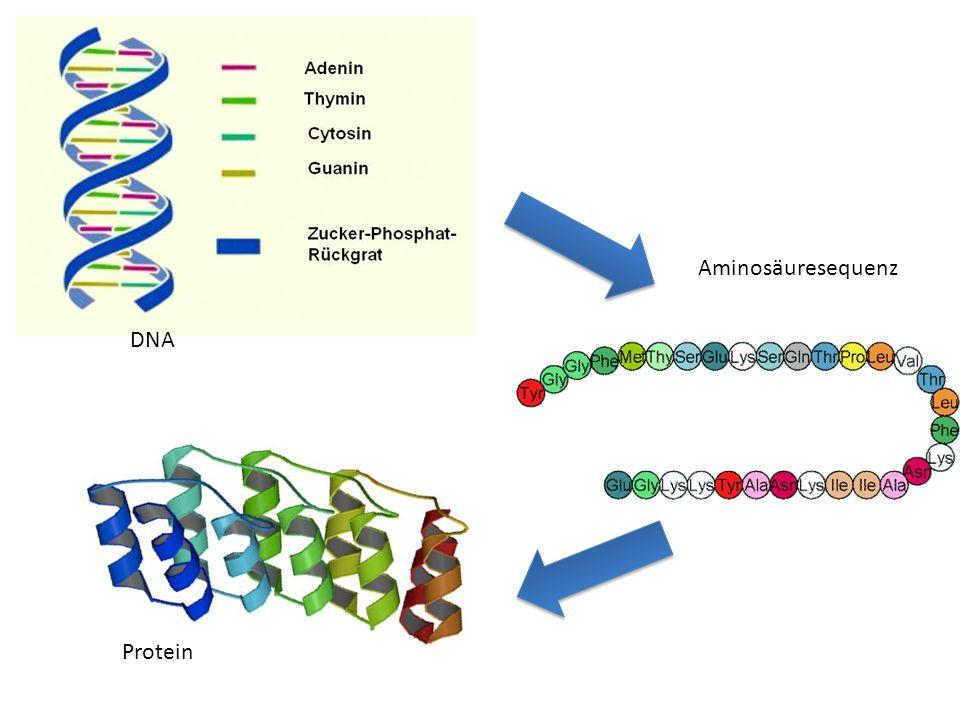 Aminosäuresequenz DNA Protein