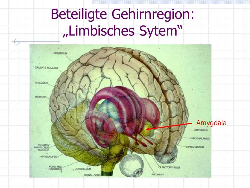 """Beteiligte Gehirnregion: """"Limbisches Sytem"""