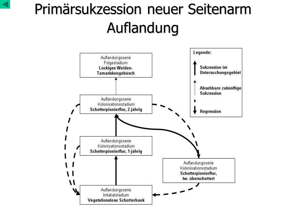 Primärsukzession neuer Seitenarm Auflandung