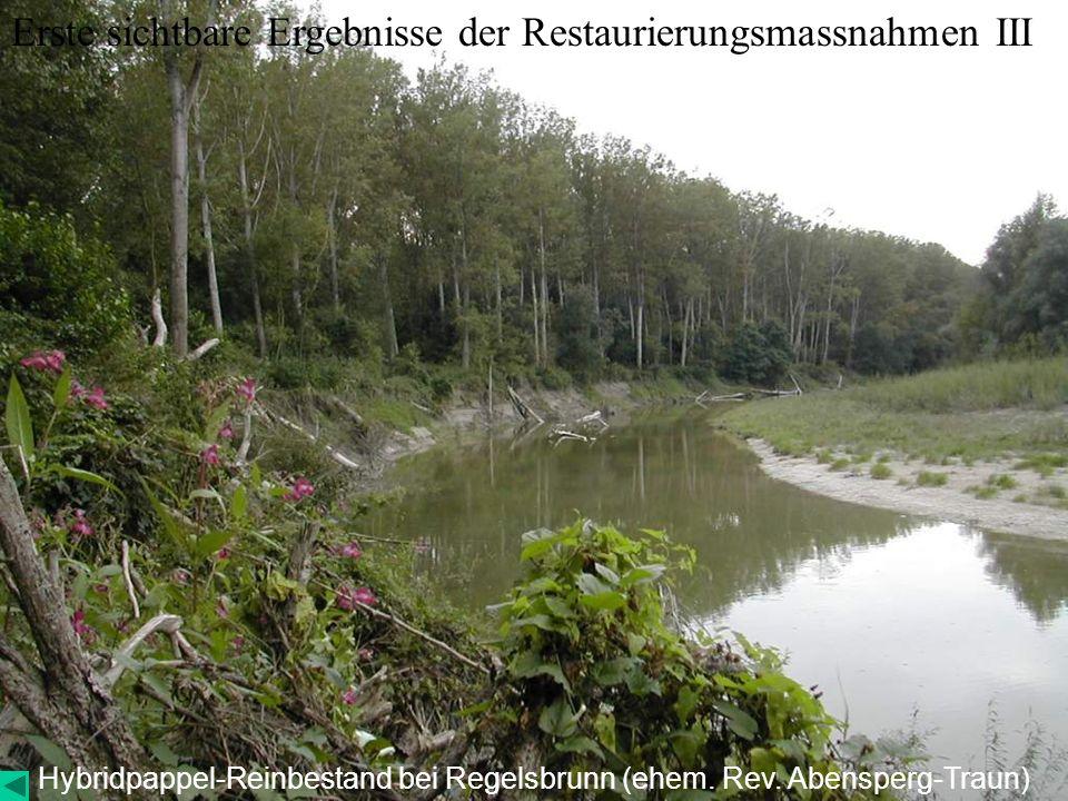 Hybridpappel-Reinbestand bei Regelsbrunn (ehem. Rev. Abensperg-Traun)