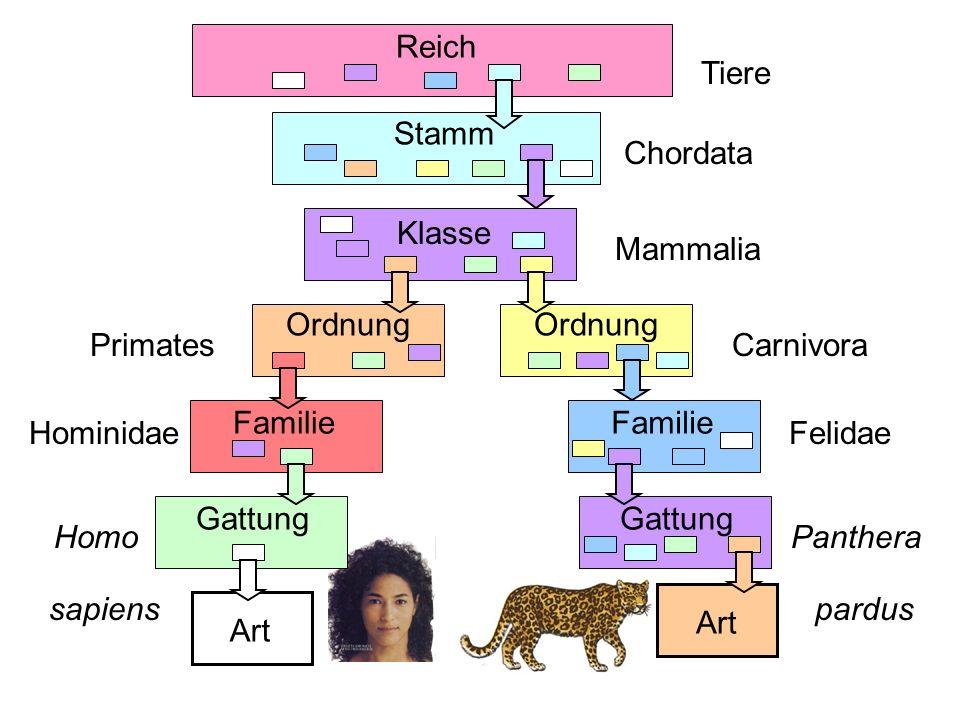 Reich Tiere. Stamm. Chordata. Klasse. Mammalia. Ordnung. Familie. Gattung. Art. Primates. Hominidae.