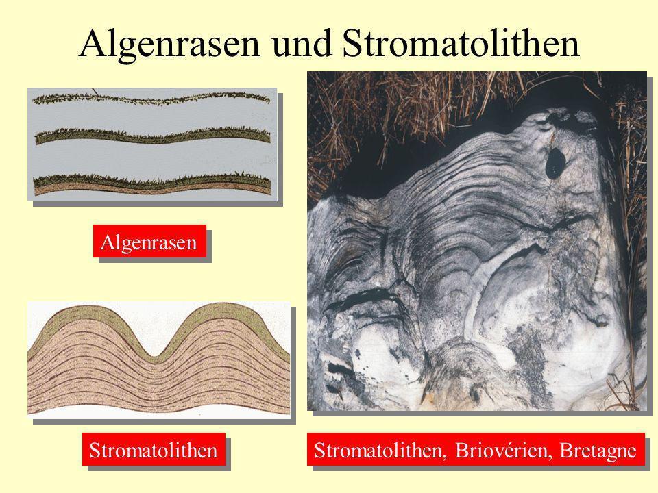 Algenrasen und Stromatolithen