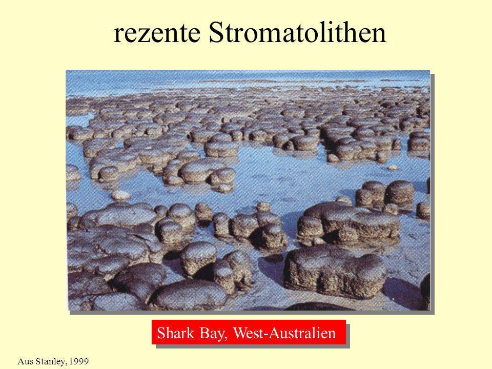 rezente Stromatolithen