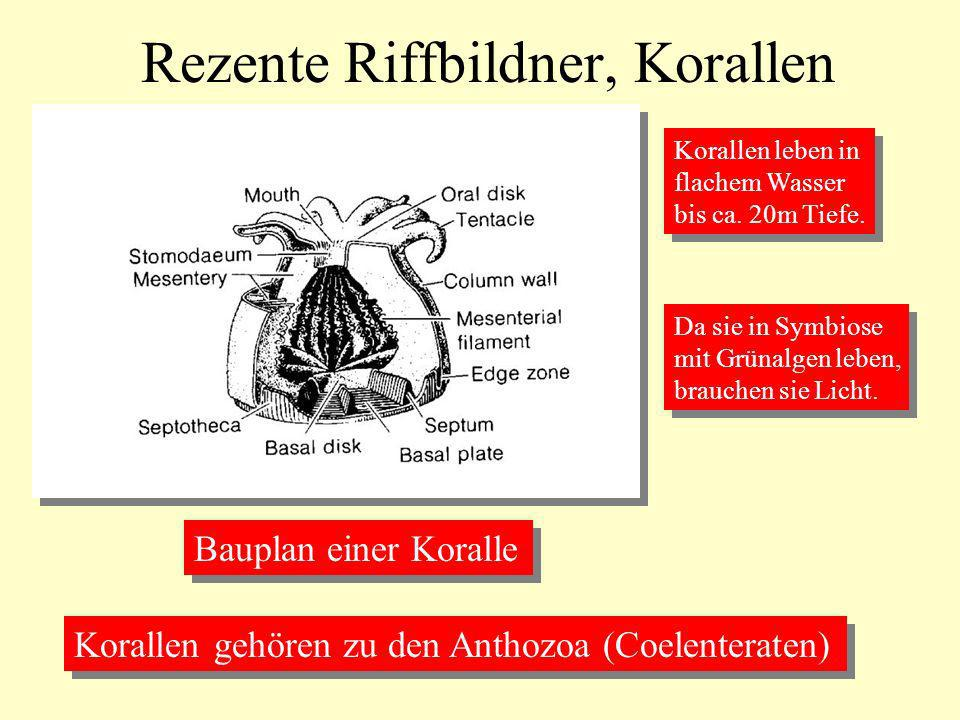 Rezente Riffbildner, Korallen