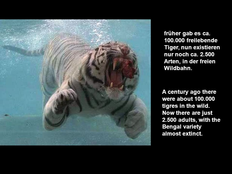 früher gab es ca. 100.000 freilebende Tiger, nun existieren nur noch ca. 2.500 Arten, in der freien Wildbahn.