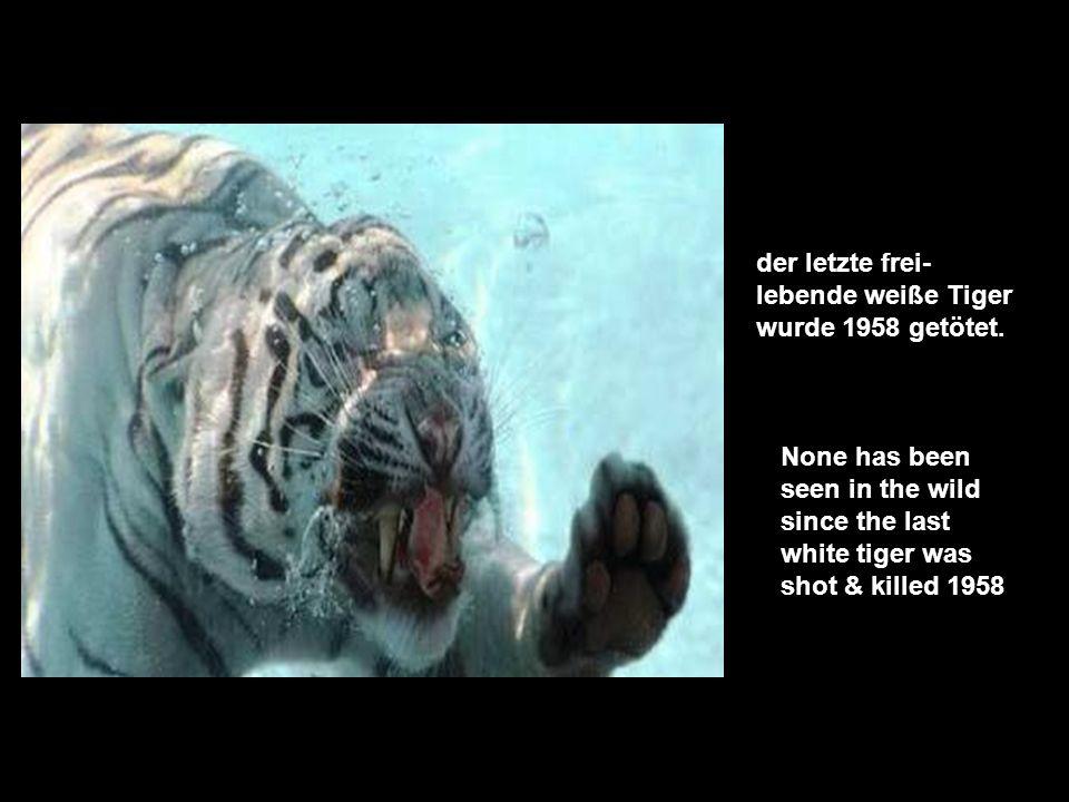 der letzte frei-lebende weiße Tiger wurde 1958 getötet.