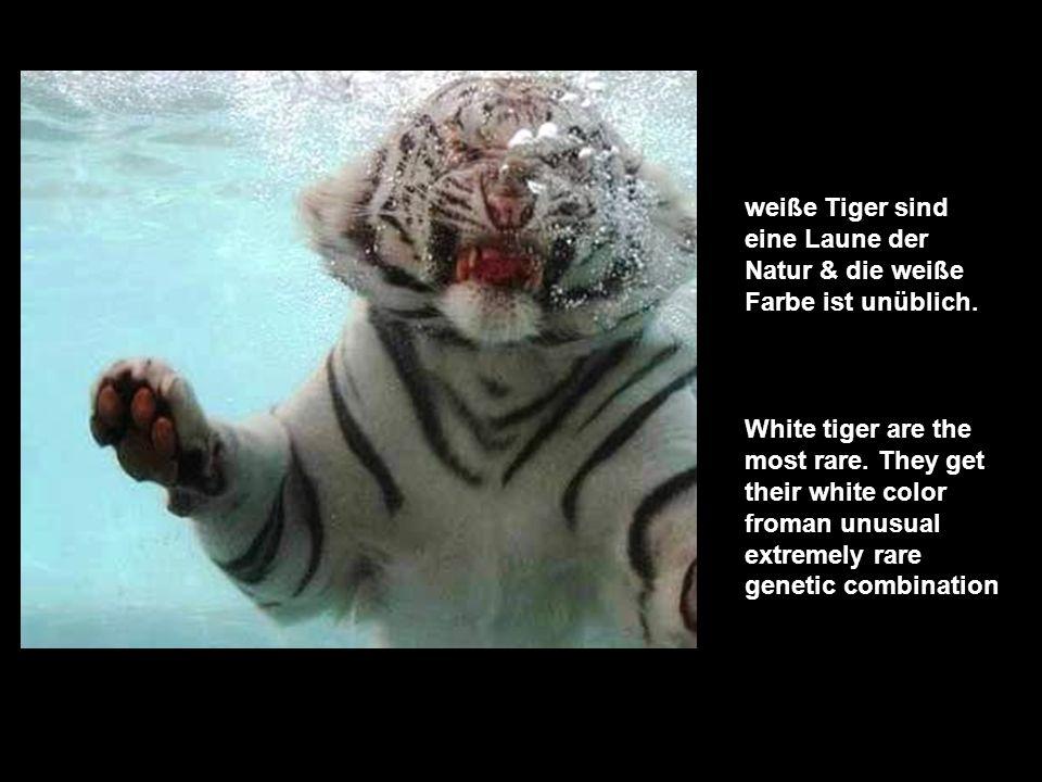 weiße Tiger sind eine Laune der Natur & die weiße Farbe ist unüblich.