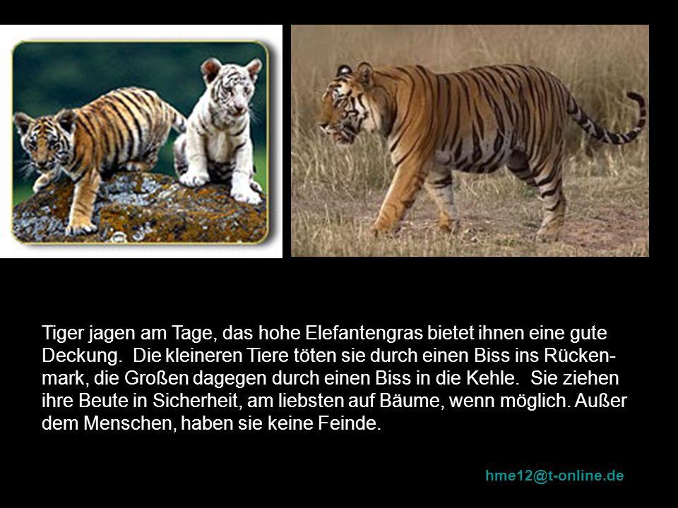 Tiger jagen am Tage, das hohe Elefantengras bietet ihnen eine gute Deckung. Die kleineren Tiere töten sie durch einen Biss ins Rücken-mark, die Großen dagegen durch einen Biss in die Kehle. Sie ziehen ihre Beute in Sicherheit, am liebsten auf Bäume, wenn möglich. Außer dem Menschen, haben sie keine Feinde.