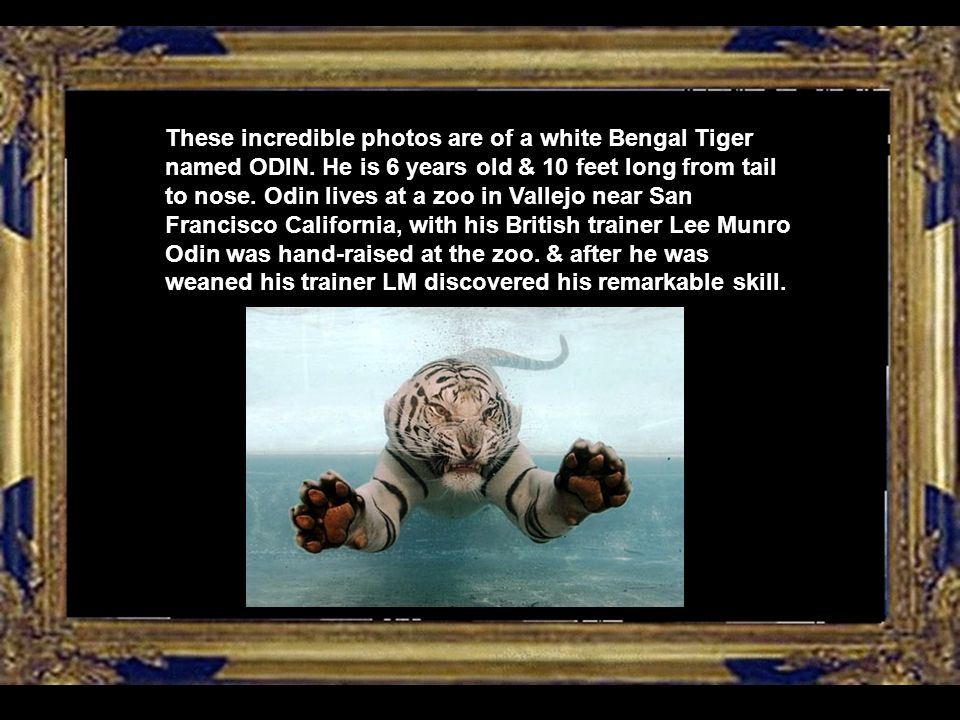 These incredible photos are of a white Bengal Tiger named ODIN