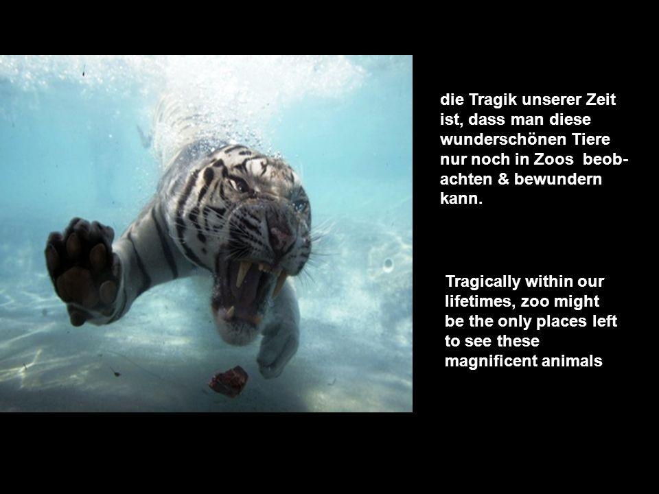 die Tragik unserer Zeit ist, dass man diese wunderschönen Tiere nur noch in Zoos beob- achten & bewundern kann.