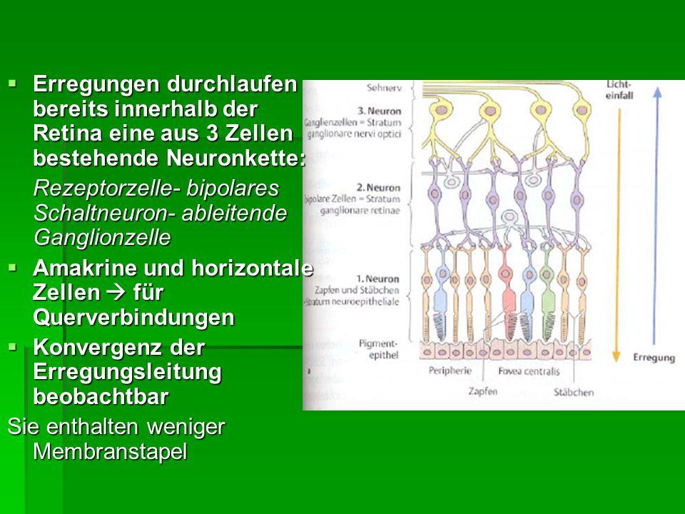 Erregungen durchlaufen bereits innerhalb der Retina eine aus 3 Zellen bestehende Neuronkette: