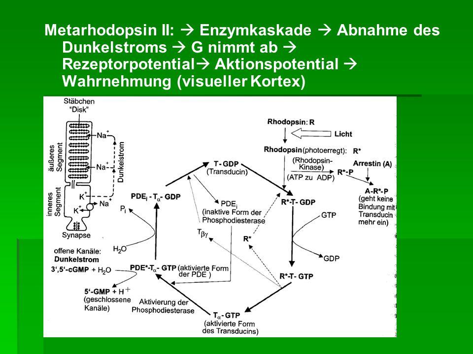 Metarhodopsin II:  Enzymkaskade  Abnahme des Dunkelstroms  G nimmt ab  Rezeptorpotential Aktionspotential  Wahrnehmung (visueller Kortex)