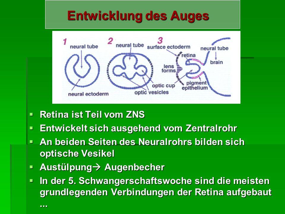 Entwicklung des Auges Retina ist Teil vom ZNS