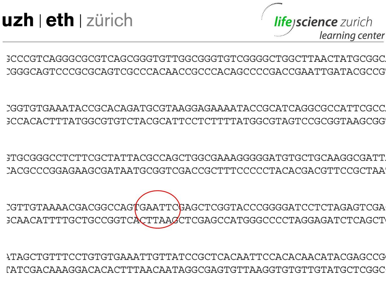 pUC 19 Plasmid 2686 Basenpaare lang