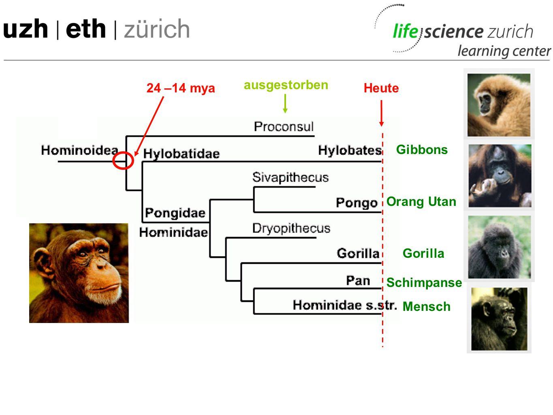 ausgestorben 24 –14 mya Heute Gibbons Orang Utan Gorilla Schimpanse