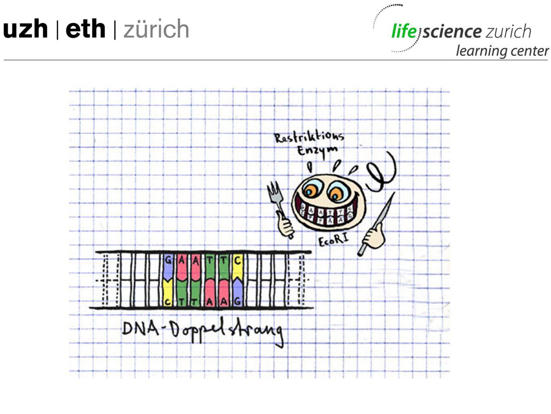 """Grafik etwas verwirrend, da rest-enzyme zwar schneiden, aber nicht """"essen , d.h."""