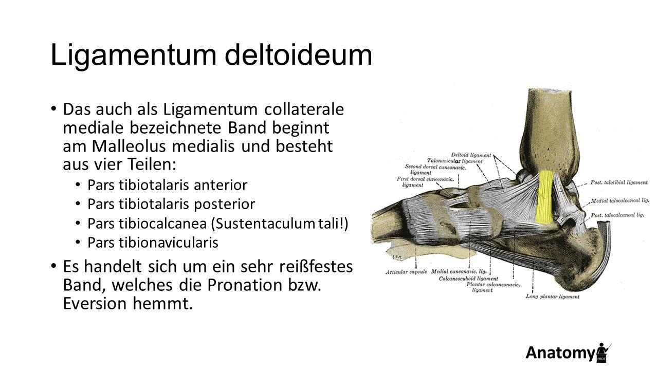 Ligamentum deltoideum